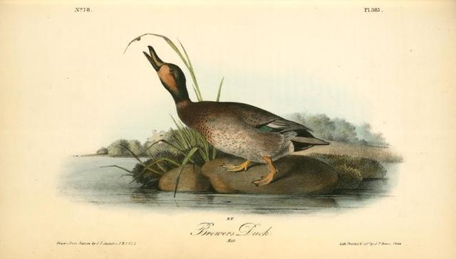 Brewer's Duck. Male.