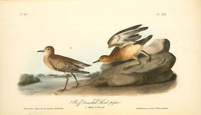 Buff-breasted Sandpiper. 1.Male. 2. Female.