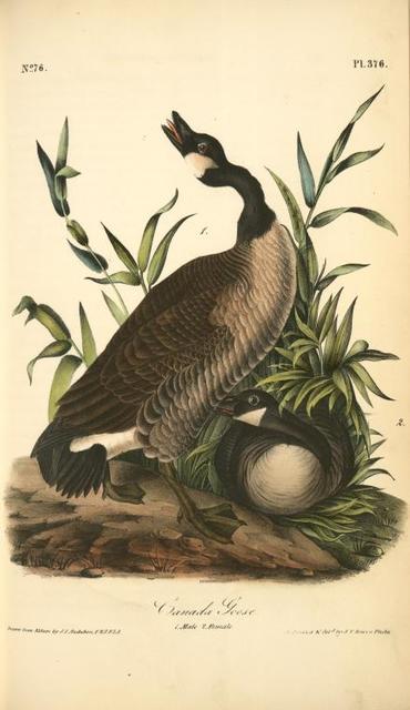 Canada Goose. 1. Male. 2. Female.
