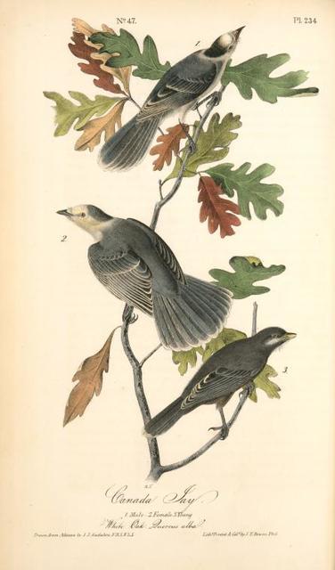 Canada Jay. 1. Male. 2. Female. 3. Young. (White Oak. Quercus alba.)