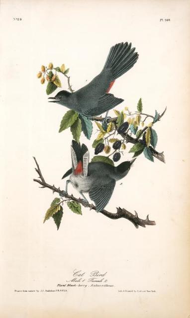 Cat-Bird. 1. Male. 2. Female. (Plant Black-berry, Rubus villosus.)