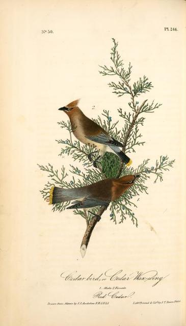 Cedar bird, or Cedar Wax-wing. 1. Male. 2. Female. (Red Cedar. [Juniperus Virginiana])