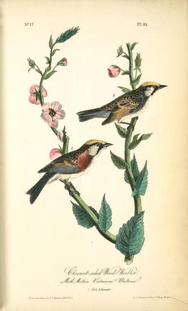 Chestnut-sided Wood-Warbler, 1. Male, 2. Female. (Moth Mullein: Verbascum Blattaria.)
