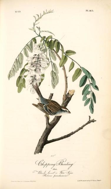 Chipping Bunting. Male. (Black locust or False Acacia. Robina pseudacacia)