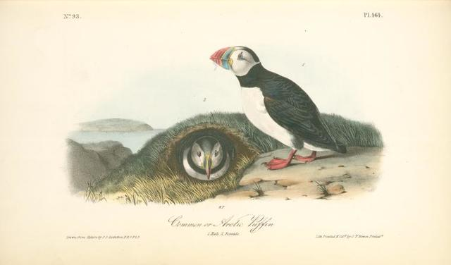 Common or Arctic Puffin. 1. Male. 2 Female.