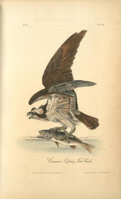 Common Osprey, Fish Hawk.