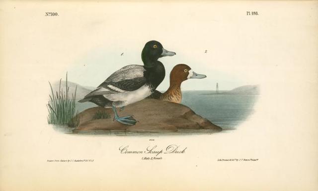 Common Scaup Duck. 1. Male. 2. Female.