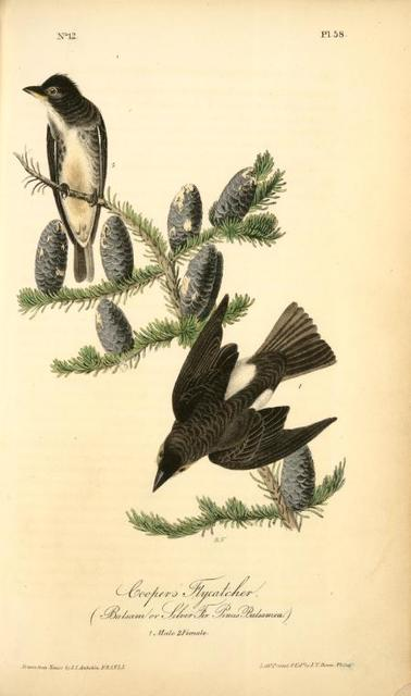 Cooper's Flycatcher, 1. Male, 2. Female. (Balsam or Silver Fir. Pinus Balsamea).