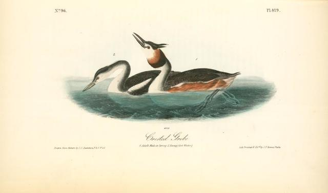Crested Grebe. 1. Adult Male in Spring. 2. Young (first Winter).