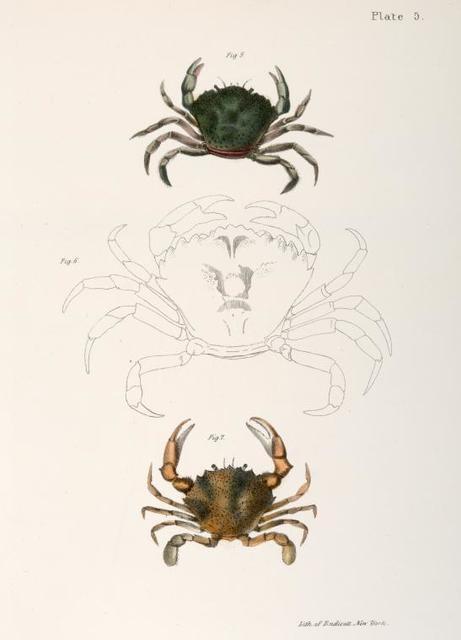 Crustacea 5. Carcinus moenas. 6. Carcinus moenas. 7. Platyonichus ocellatus.