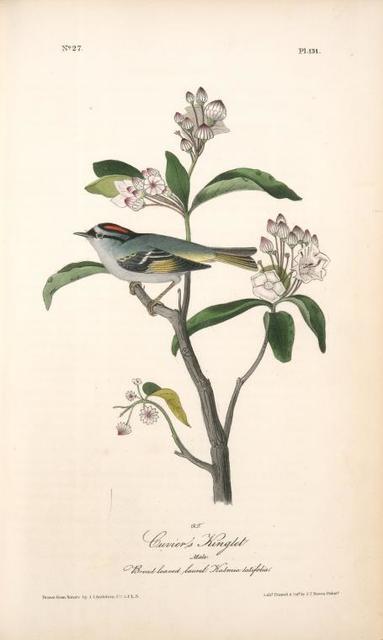 Cuvier's Kinglet. Male. (Broad-leaved laurel. Kalmia latifolia.)