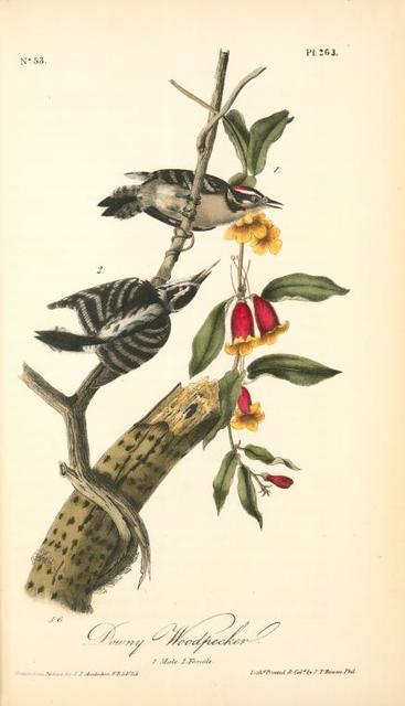 Downy Woodpecker. 1. Male. 2. Female.
