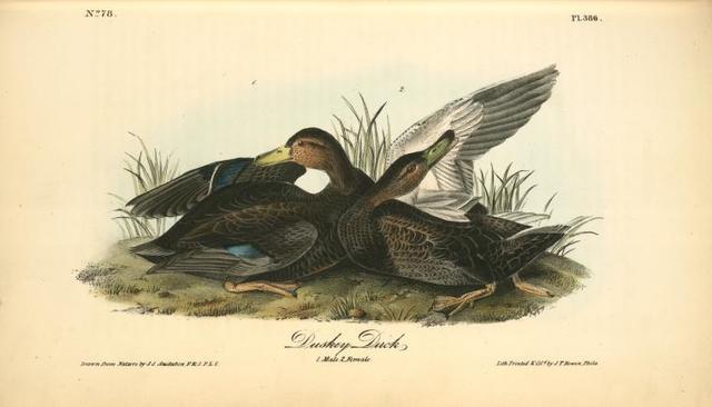 Duskey Duck. 1. Male. 2. Female.