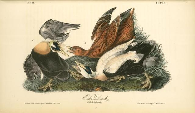 Eider Duck. 1. Male. 2. Female.