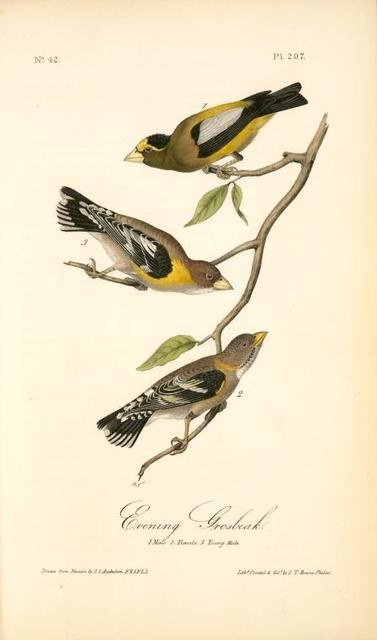 Evening Grosbeak. 1. Male. 2. Female. 3. Young Male. (Ground Hemlok. Taxus canadensis.)