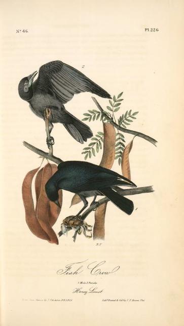 Fish Crow. 1. Male. 2. Female. (Honey Locust. [Gleditschia triacanthos])
