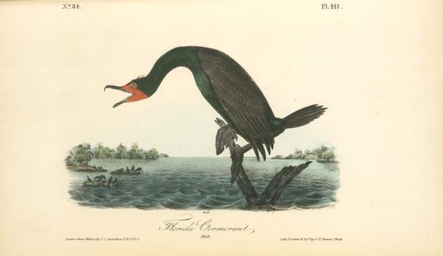 Florida Cormorant. Male.