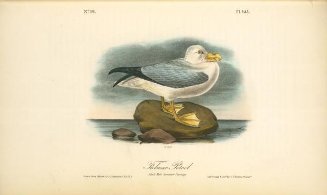 Fulmar Petrel. Adult Male Summer plumage.