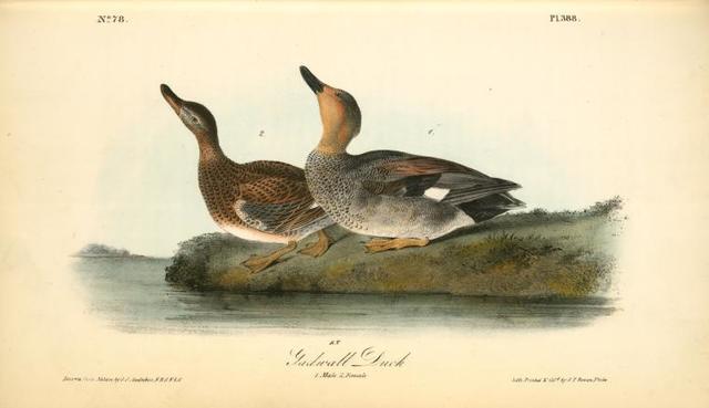 Gadwall Duck. 1. Male. 2. Female.