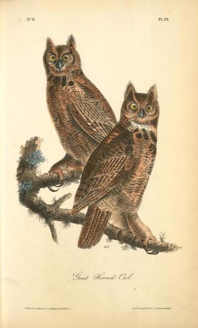 Geat Horned Owl.