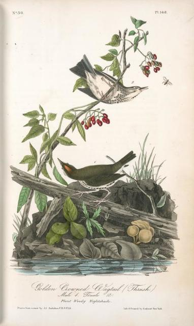 Golden-Crowned Wagtail (Thrush). 1. Male. 2. Female.  (Plant: Woody Nightshade)
