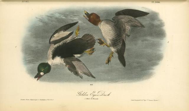 Golden Eye Duck. 1. Male. 2. Female.