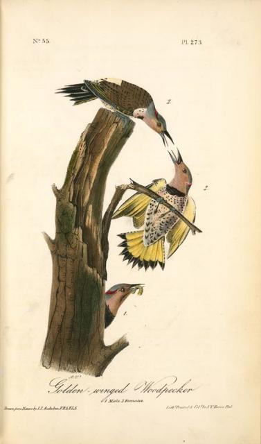 Golden-winged Woodpecker. 1. Male. 2. Females.