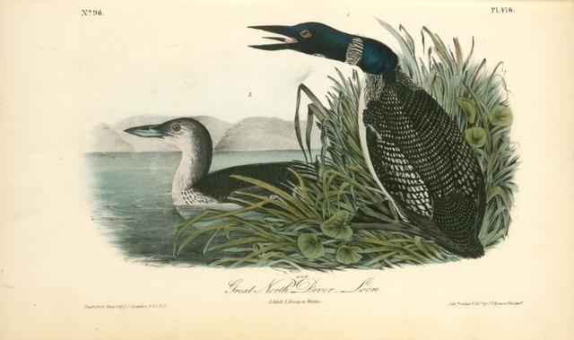 Great North Diver. -- Loon. 1. Adult. 2. Young in Winter.