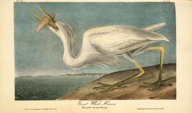 Great White Heron. Male adult, Spring Plumage.