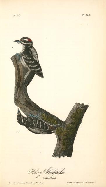 Hairy Woodpecker. 1. Male. 2. Female.