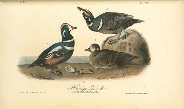 Harlequin Duck. 1. old Male. 2. Female. 3. Young male.