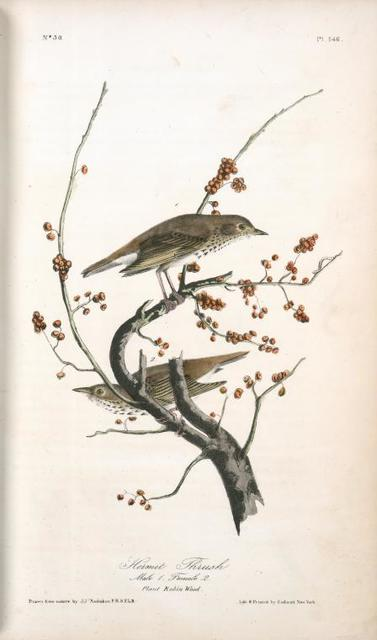 Hermit Thrush . 1. Male. 2. Female. (Plant: Robin Wood.)