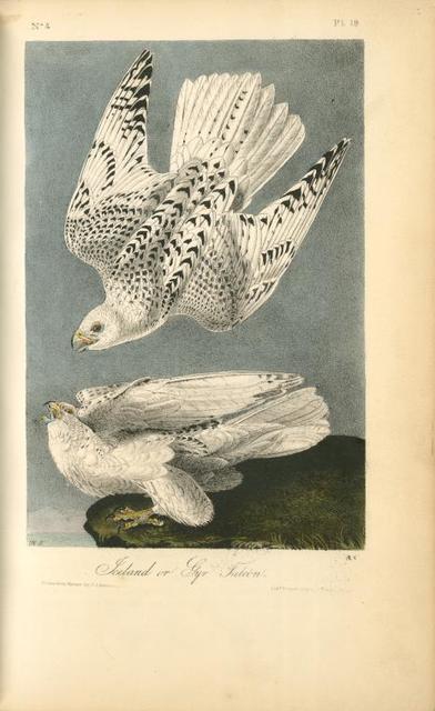 Iceland or Gyr Falcon.