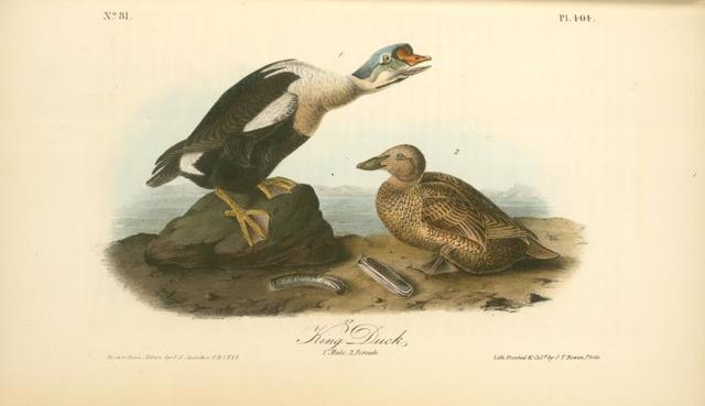 King Duck. 1. Male. 2. Female.