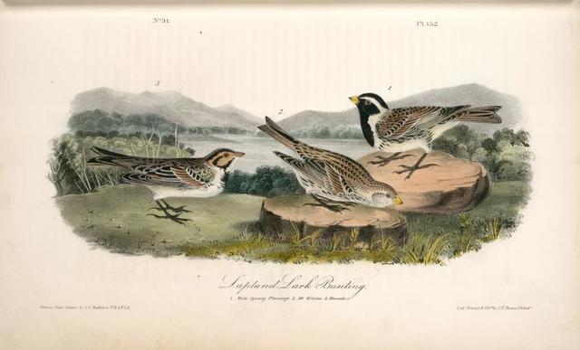 Lapland Lark Bunting. 1. Male, Spring plumage. 2. D-o Winter. 3. Female.