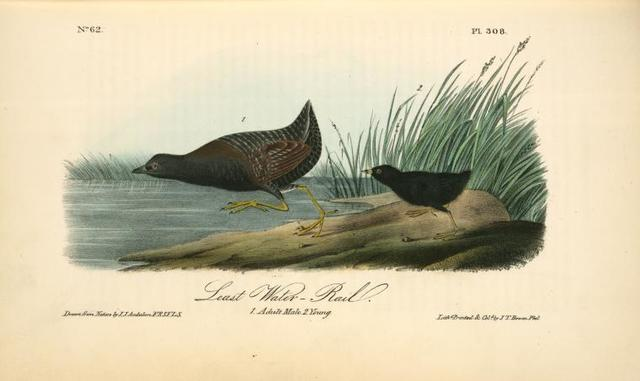 Least Water-Rail. 1. Adult Male. 2 Young.