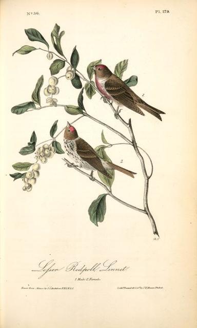 Lesser Redpoll Linnet. 1. Male. 2. Female.