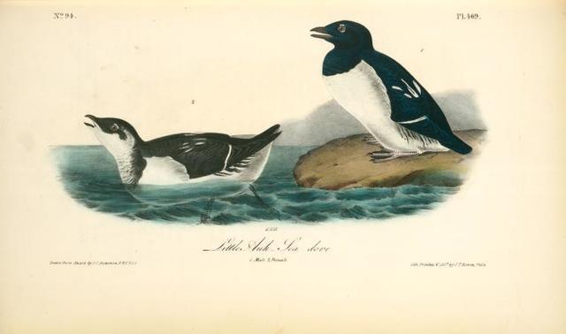 Little Auk. -- Sea dove. 1. Male. 2. Female.