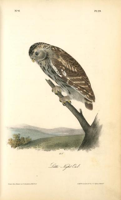 Little Night-Owl.