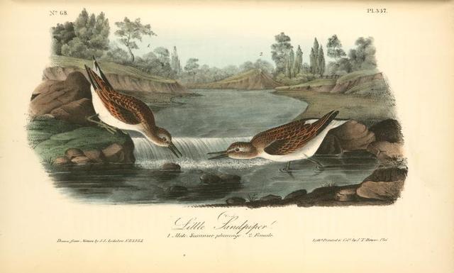 Little Sandpiper. 1. Male. Summer plumage. 2. Female.