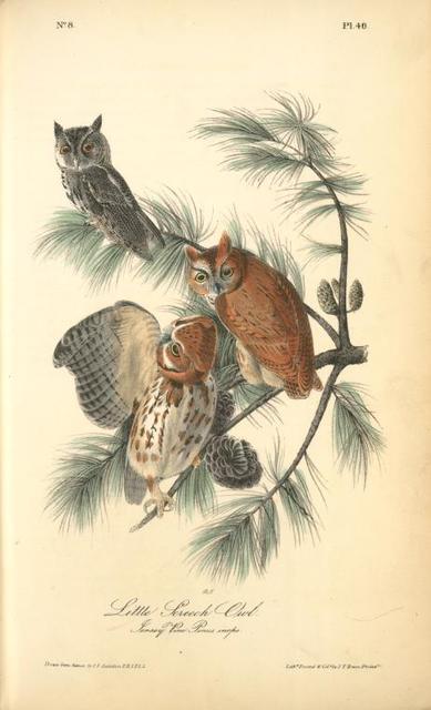 Little Screech Owl. (Jersey Pine. Pinus inops.)