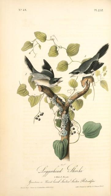 Loggerhead Shrike. 1. Male. 2. Female. (Greenbriar or Round-leaved Smilax. Smilax Rotundifolia.)