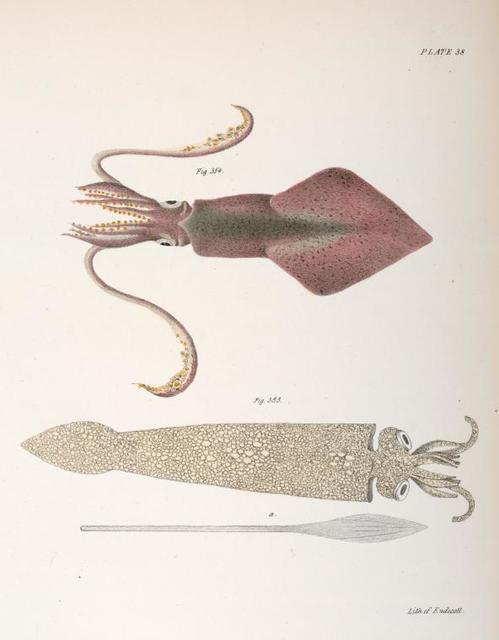 Mollusca 353. Loligo pavo. 354. Loligo pealii.
