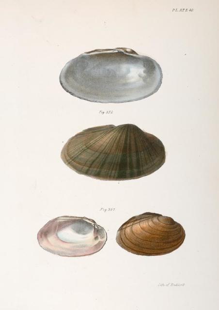 Mollusca 357. Unio rosaceus, male. 358. Anodon pavonia.
