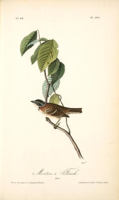 Morton's Finch. Male.