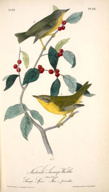 Nashville Swamp-Warbler. 1. Male. 2. Female. (Swamp spice. Ilex prinoides.)