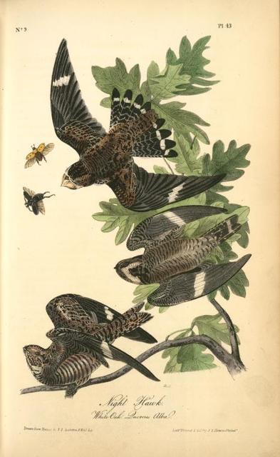 Night Hawk. (White Oak. Quercus Alba.)
