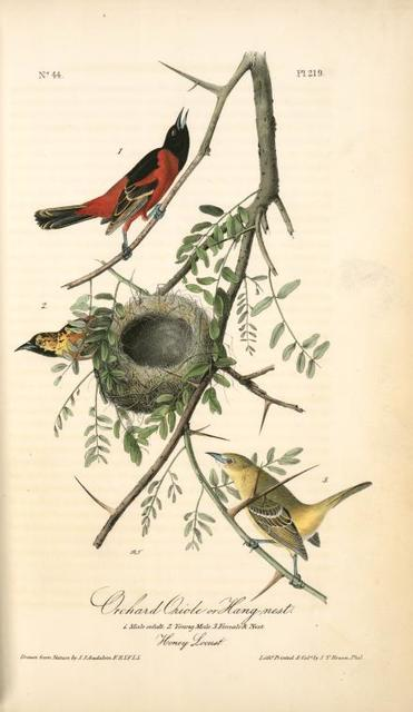 Orchard Oriole, or Hang-nest. 1. Male adult. 2. Young Male. 3. Female & nest. (Honey Locust.)
