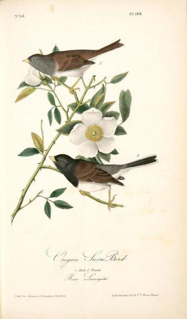 Oregon Snow-Bird. 1. Male. 2. Female. (Rosa Laevigata)