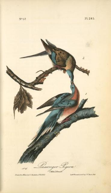 Passenger Pigeon. 1. Male. 2. Female.